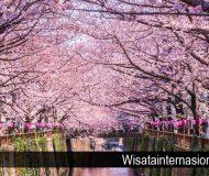 tempat-pemandangan-bunga-sakura-terindah-jepang